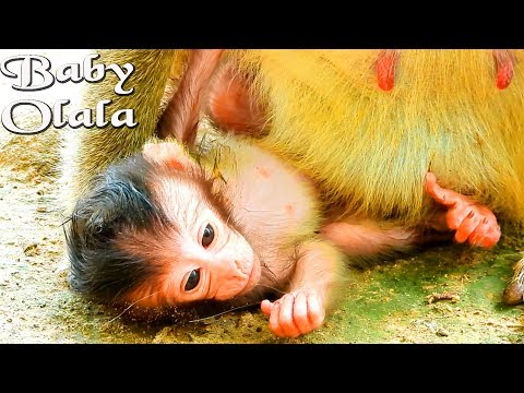 New baby monkey Olala particularly cute baby girl that we should keep her day of birth in our brain