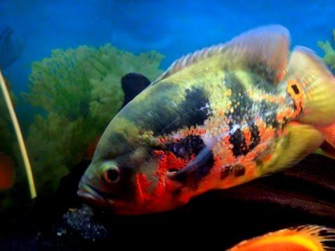Water change in Oscar fish tank