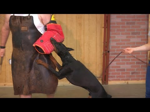 Super Doberman Protection Training 'Midus' 10 Mo's Beautiful Powerful Home Raised