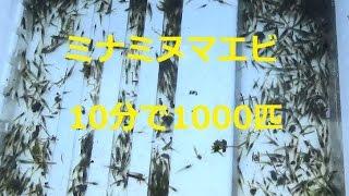 ミナミヌマエビはメダカなどの糞の掃除に最適です 水温が上がると全滅し...