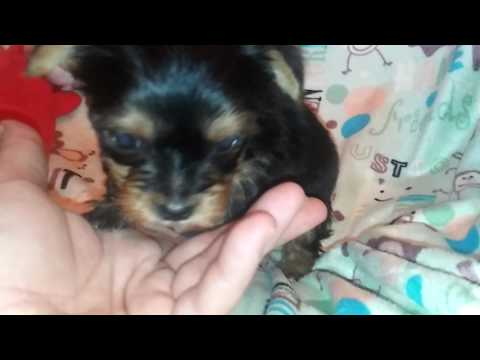 The Faery Dog Mother: Update Video for Ashley: Squeakers Morkie male