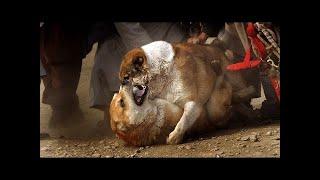 KuchiまたはAfghan Shepherdの犬は、アフガニスタンのKuchiの人々からそ...