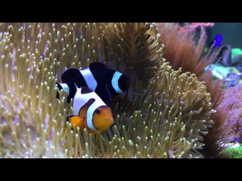 Clownfish Hosting In Toadstool Leather Coral
