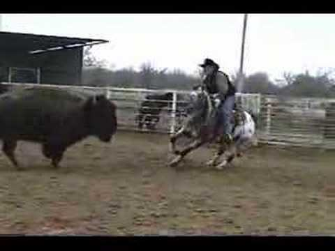 Appaloosa horse cutting Buffalo