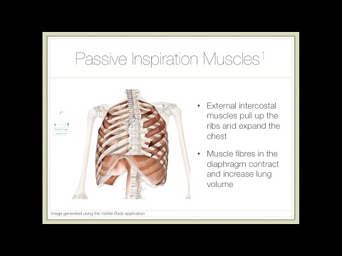 Action of Breathing — Part 1: Mechanisms