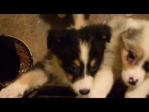 Australian Shepherd Puppies At Blues Creek Aussies