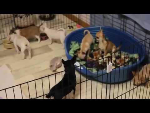 Regalo I Vaccinati Cuccioli Chihuahua Mini Toy Youtube
