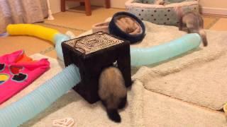 我が家に2頭のフェレットがお泊りにきてくれたよ! 我が家 バタースコ...