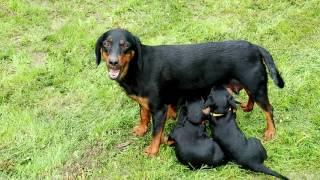 Порода собак. Латвийская гончая.Одна из самых молодых порода собак