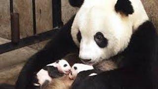 Панда рожает малюсенького детёныша