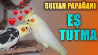 Sultan Papağanı Eş Tutma Ve Sultan Papağanı Eş Isteği Belirtileri