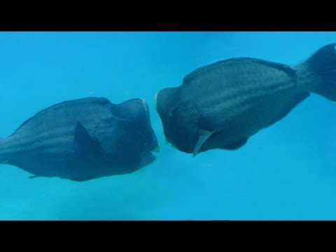 GIANT BATTLING BUMPHEAD FISH