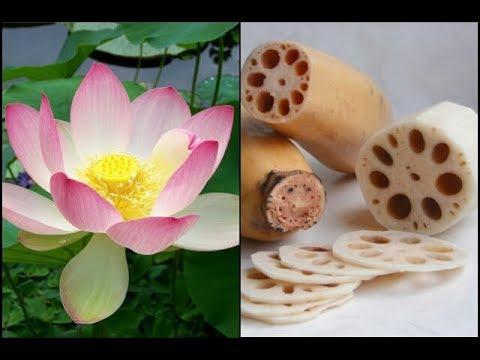 What is lotus root vegan youtube what is lotus root vegan mightylinksfo