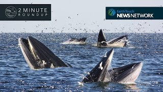 Giant penguins, Tasmanian tigers & a Bryde's whale washup