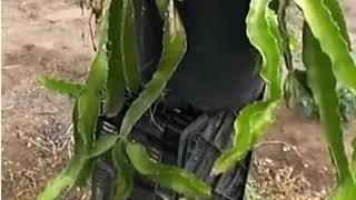 White flesh dragon fruit hybrid and palora