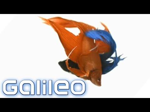 Verrückte Tradition: Wettkampf Der Thailändischen Feuerfische | Galileo | ProSieben