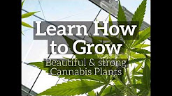 Cannabis Seeds USA - Infos, Guides & Shops