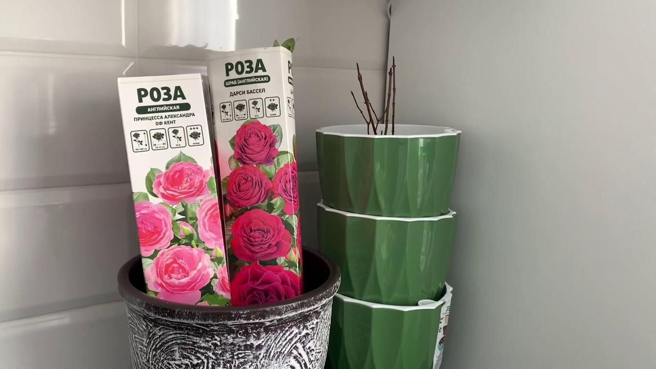 Обзор английских роз из коробки. Не удержалась, купила!!!