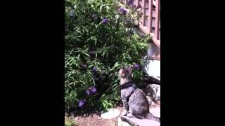 Egyptian Mau butterfly hunting