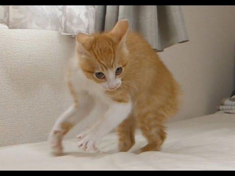 保護猫ルゥ、毛を逆立てて威嚇!! Roux-Threatening