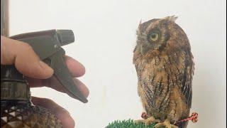 フクロウの水浴び方法 How to bathe an owl