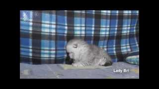 Шотландские вислоухие котята серебристые табби, вискас  www.LadyBri.ru