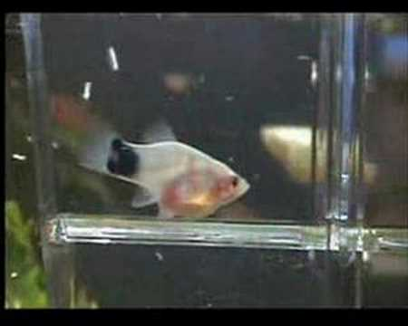 Platy Gives Birth - Want Know When Your Livebearer Will Have Its Fry? See Description