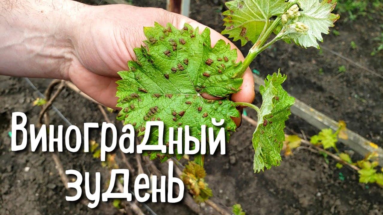 Виноградный зудень (войлочный клещ). Борьба с вредителем