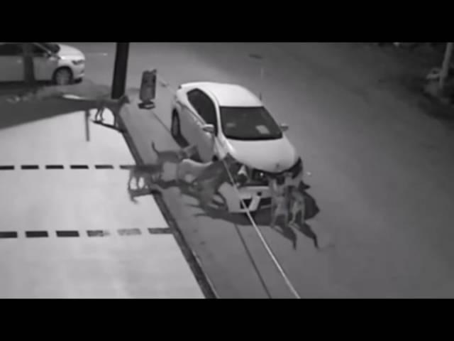 Psi lutalice rastrgali automobil u Turskoj