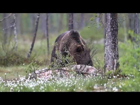 kuuntele karhun ääni