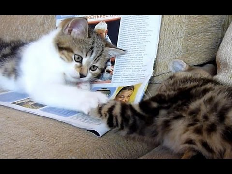 Thumbnail for Cat Video Cute Kittens  playing Patty Cake
