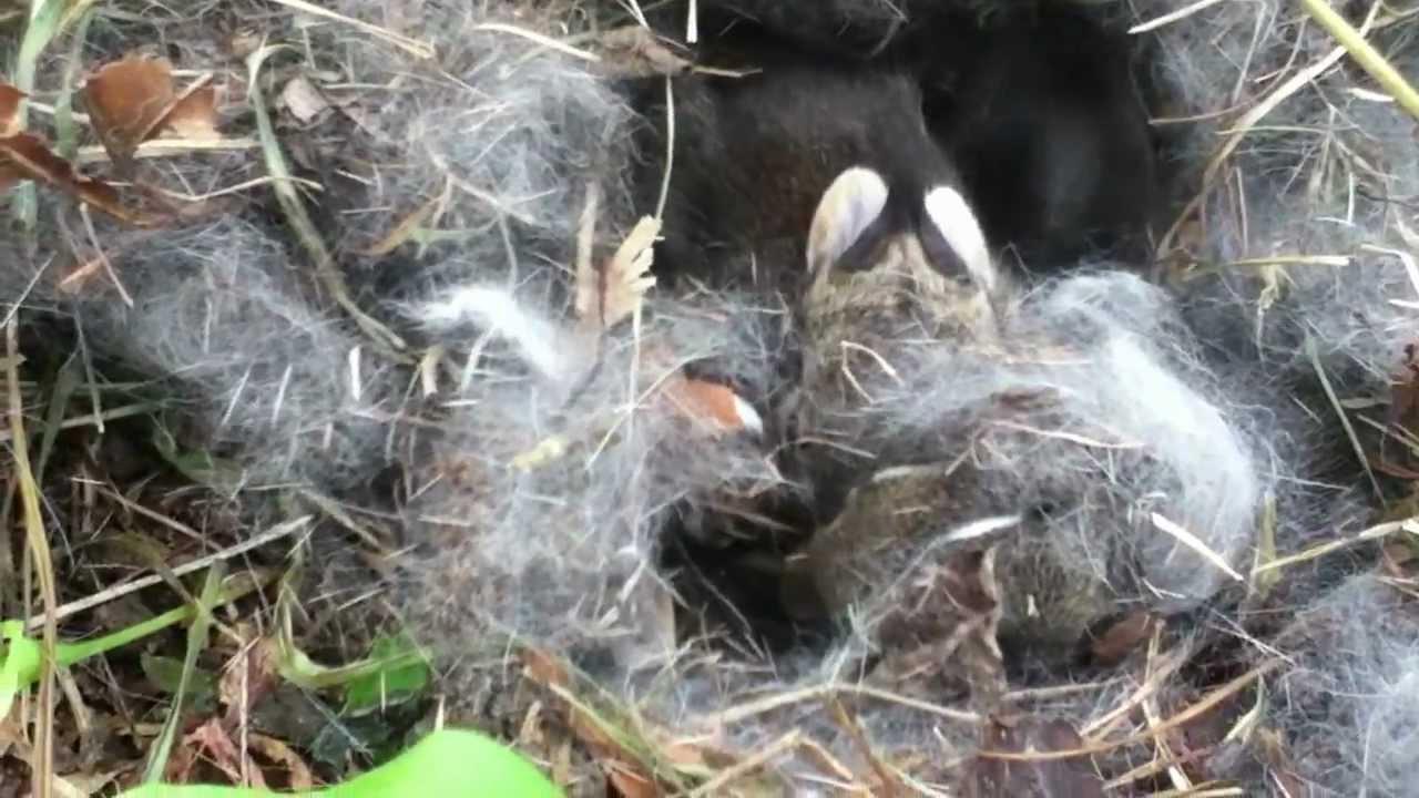 Baby Rabbits Nest