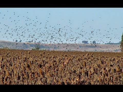 Guided Pigeon Shooting / Hunting, Pigeon Shooting Holidays, Trips, Breaks, Days,Chasse Aux Pigeons