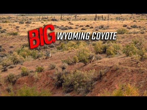 BIG Wyoming Coyote - Coyote Hunting