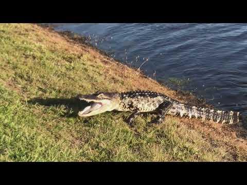Alligator hunting in Bradenton, FL