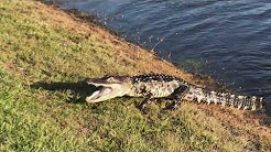 Alligator hunting in Bradenton, FL