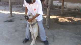 Афганские собаки в Казахстане