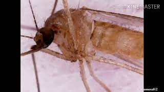 가을 모기 현미경 관찰