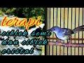 Terapi Ciblek Semi Dan Ciblek Cristal Cocok Juga Di Jadikan Pancingan Ciblek Agar Cepat Gacor  Mp3 - Mp4 Download