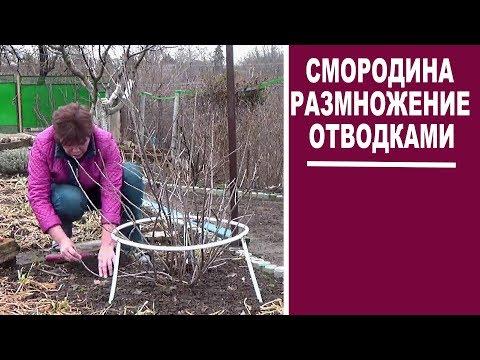 Вопрос: Как размножать смородину отводками в горшке или плошке?