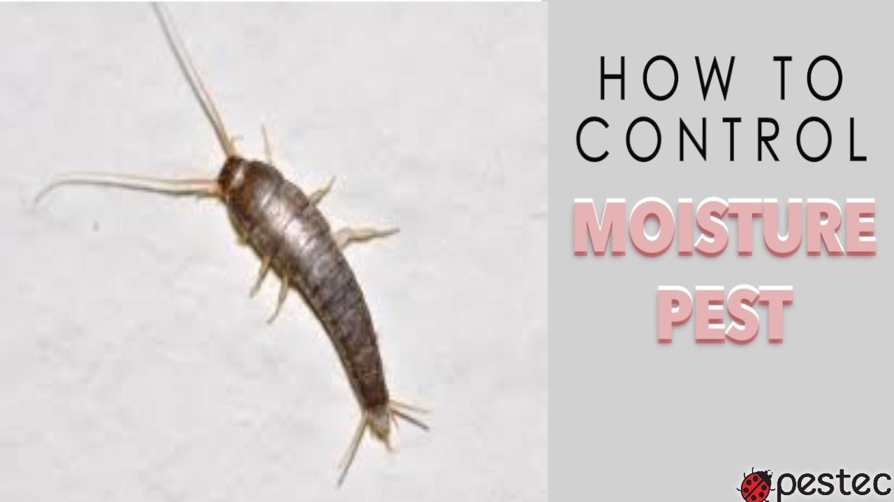 Pestec how to get rid of silverfish in your home youtube for How to get rid of silver fish