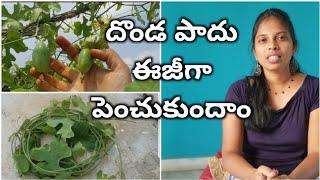 దొండ పాదు ఎలా పెంచుకోవాలి || how to grow Ivy Gourd from stem || stem cutting #ivygourd