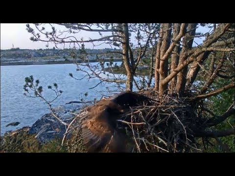 smola-norway-~-melle-crash-lands-&-face-plants-on-nest-w/-fast-speed-&-slo-mo!-8.5.19