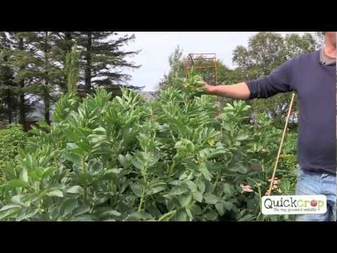 Grow Your Own Broad Beans With Quickcrop