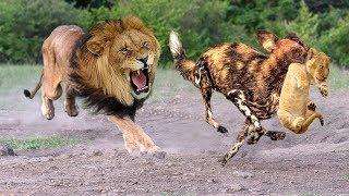 LIVE: Dramatic Father Lion Destroy 20 Wild Dogs Save Lion Cubs - Epic battle! Craziest Animal Fights