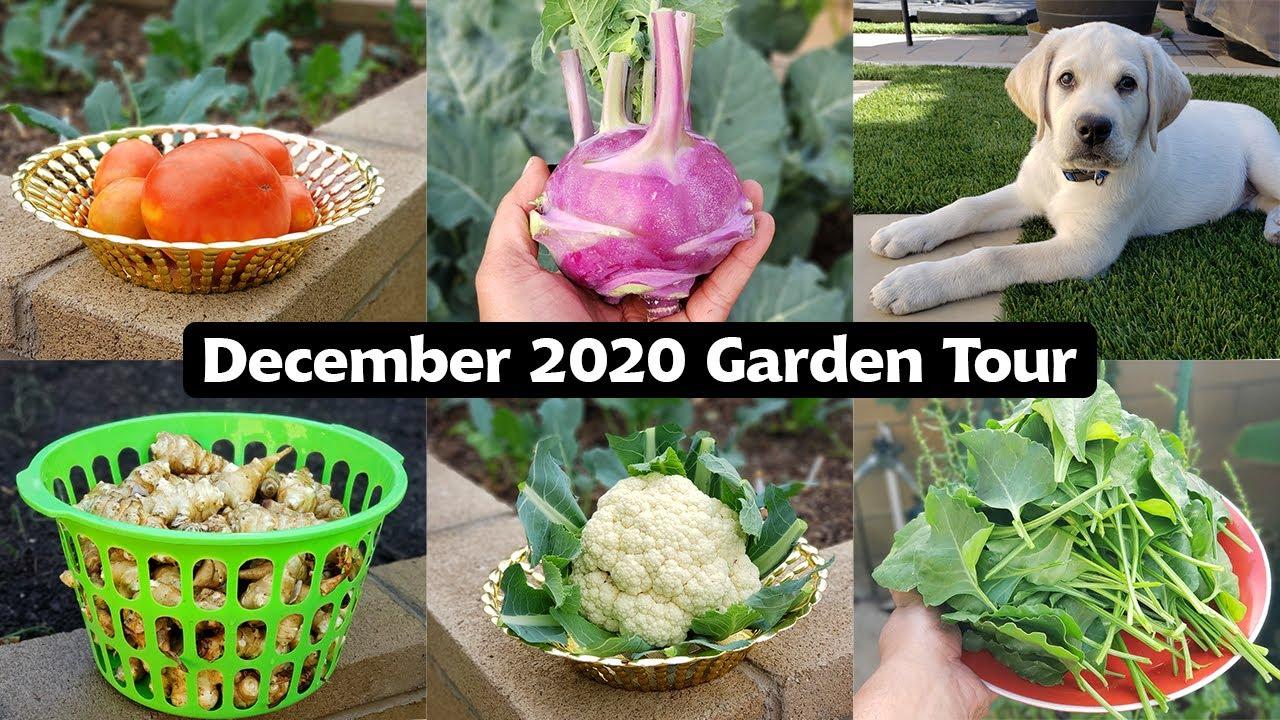 California Gardening December 2020 Garden Tour - Winter Harvests, Garden Tips & Our Lab Puppy!