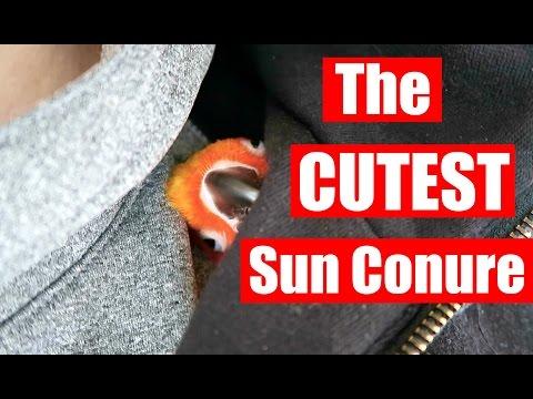 Cute Sleepy Sun Conure!!!