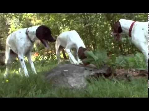 Wszystko o Psach 01   TVRip 700x400 PL Rasy Belgian Malinois, Mi Ki, Pointer, Anatolian Shepherd, Bl