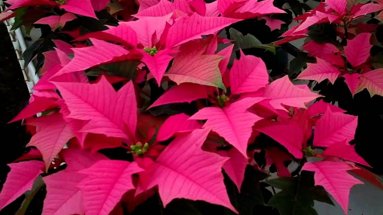 Los Colores De Las Nochebuenas En Las Nochebuenas De
