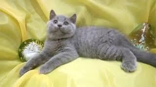 Шикарный шотландский котенок